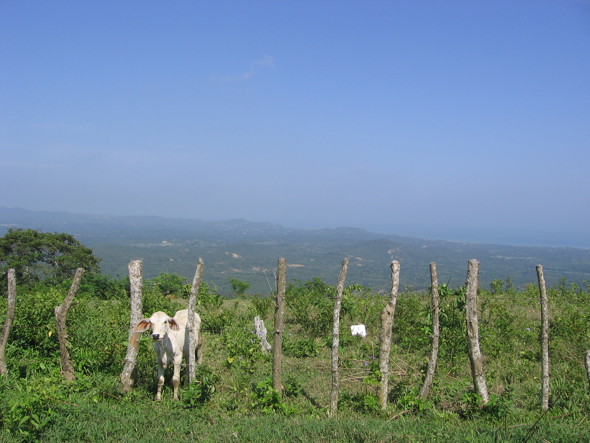 vaca tubara