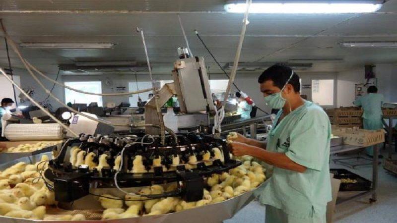 Productores de Colombia podrán exportar aves de un día a Aruba