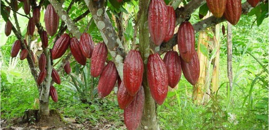 Colombia alcanza la producción más alta de cacao en toda su historia