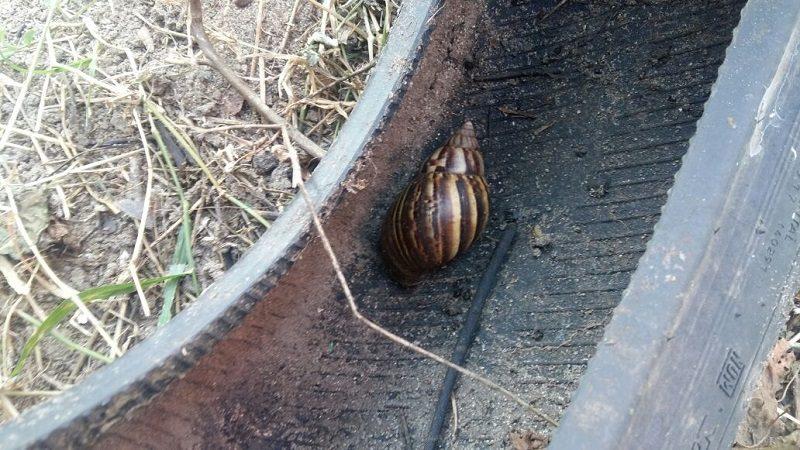 Alerta por masiva aparición de caracoles africanos en Malambo 1