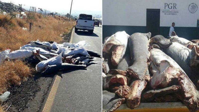 Aparecen 86 tiburones muertos en carretera en México