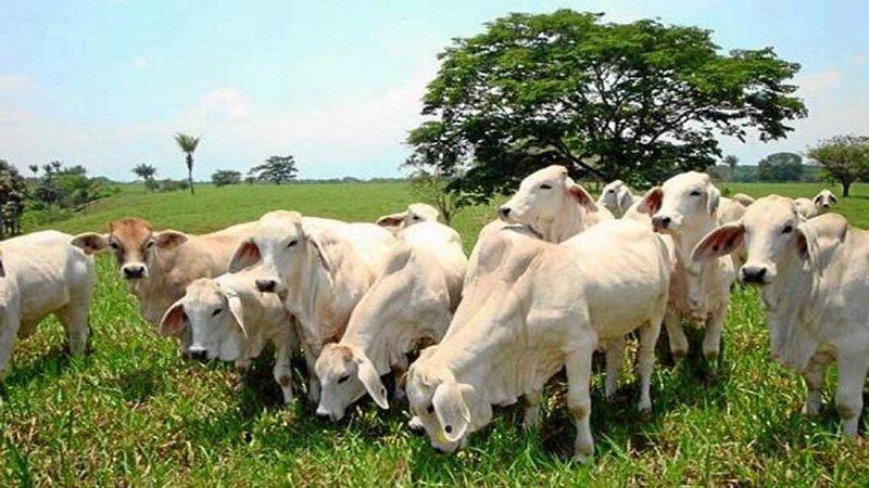 Gobierno y plantas de sacrificio unen esfuerzos para exportar carne bovina a EE.UU 1