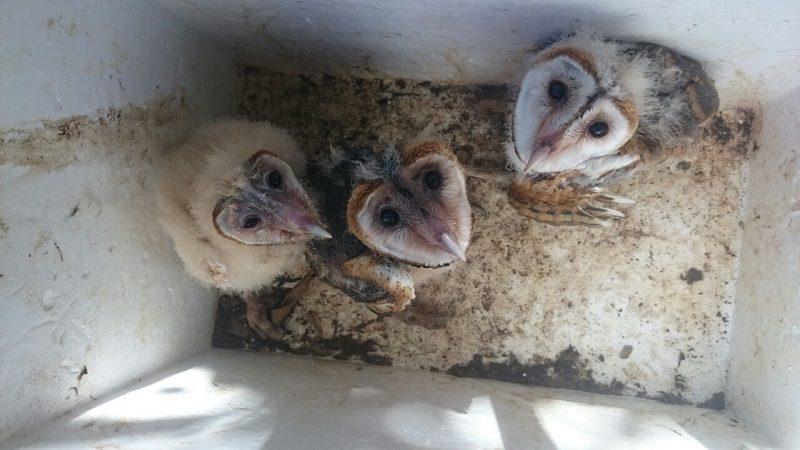 Rescatan a tres neonatos de lechuza que iban a ser vendidos para mascota