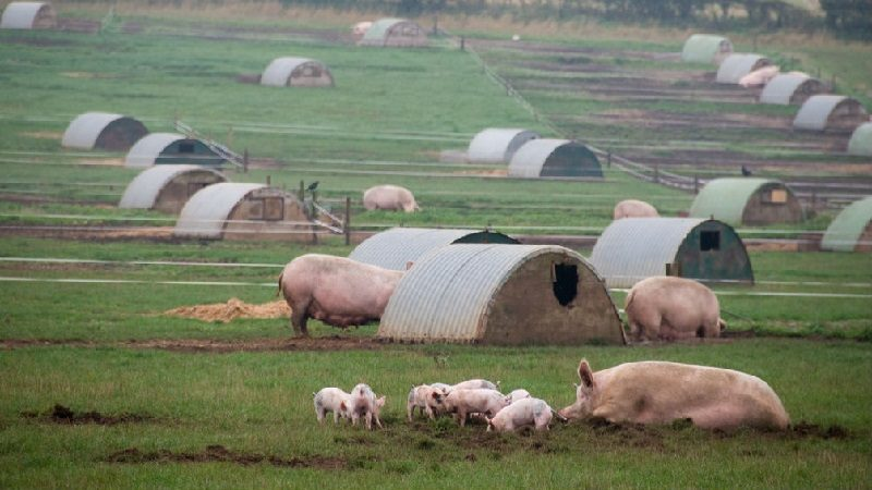 Colombianos eran explotados en una granja de cerdos en España