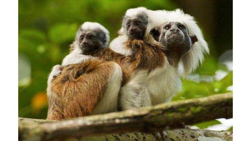 Declaran 2.622 hectáreas en Atlántico como área protegida para el tití cabeciblanco