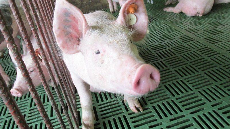 Porcinos zona libre