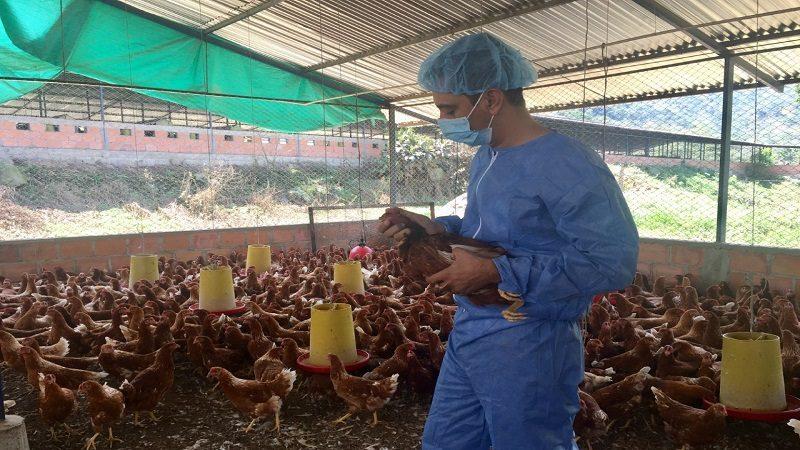 Productores avícolas deben extremar medidas para prevenir el ingreso de la influenza aviar al país