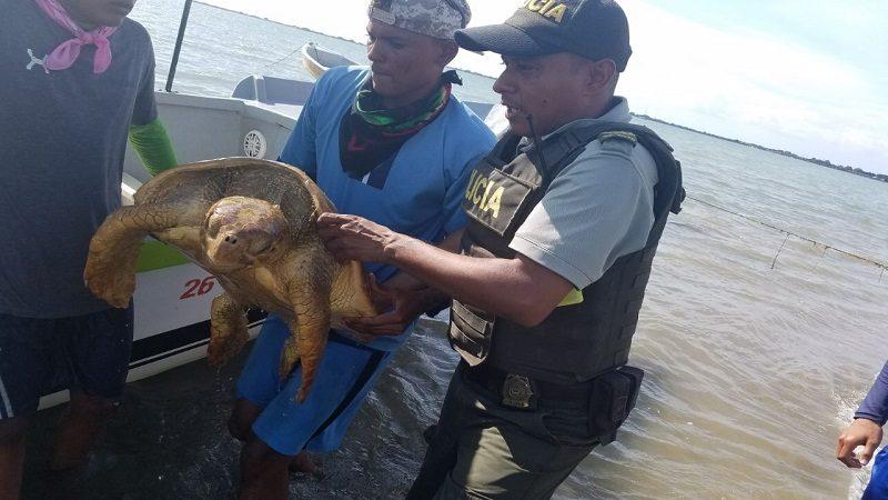 Rescatan una tortuga carey de 65 kilos en playas de Puerto Velero
