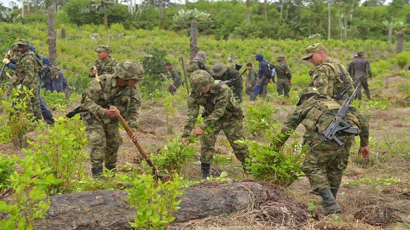 Cerca de 35.000 hectáreas de coca han sido eliminadas este año 1