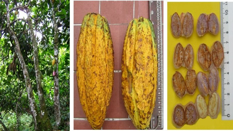 Colombia tiene desde hoy un nuevo grano clonado del cacao