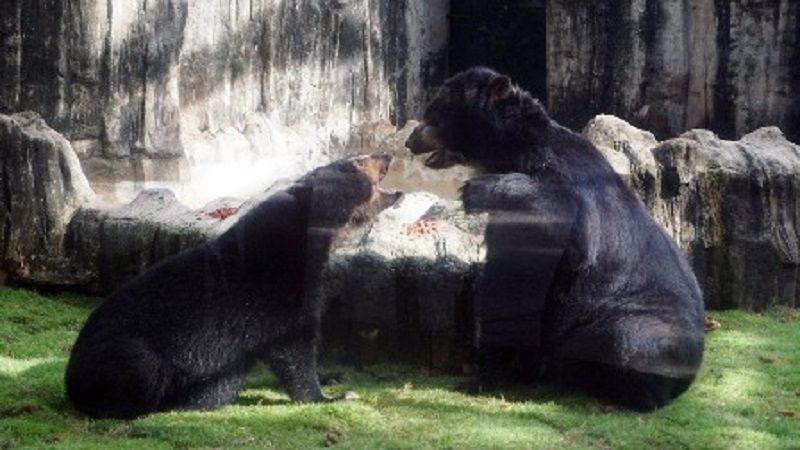 Los osos de anteojos ya están juntos en el zoológico de Barranquilla