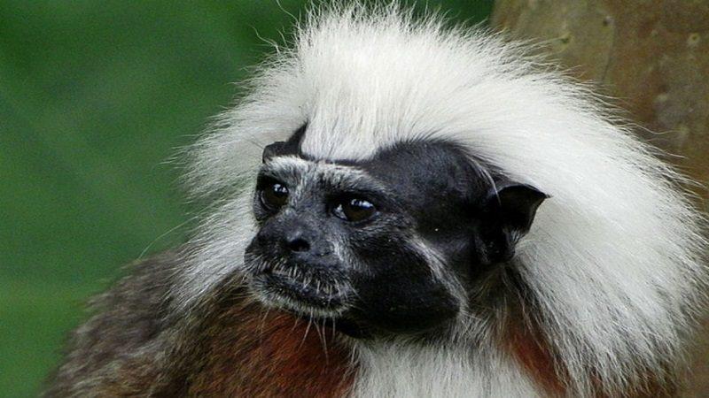 Autoridades buscan respaldo del Open Space Institute para proteger el mono tití cabeciblanco