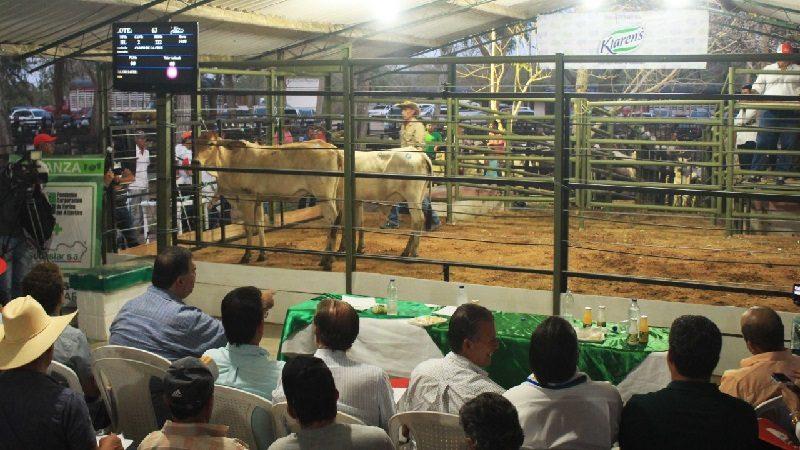 Exitoso arranque de las subastas de ganado en Atlántico