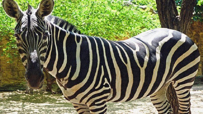 Murió la cebra del Zoológico de Barranquilla, excandidata a la alcaldía de ese lugar