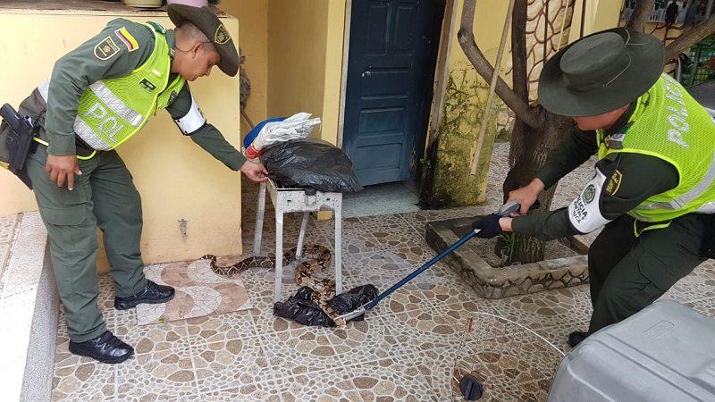 Policía rescata boa constrictor que tenían de mascota en una casa, en Sabanagrande