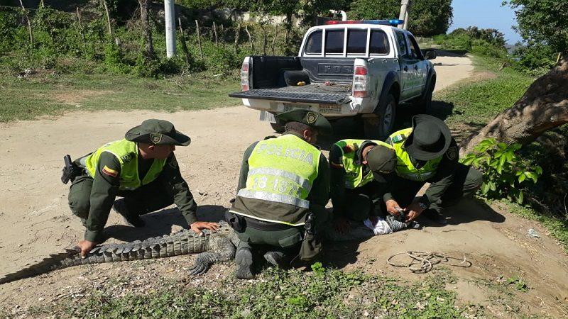 Pánico en playas de Puerto Colombia por caimán aguja que apareció de la nada