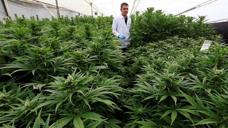 Marcelo Antunes de Siqueira, director of operations at Pharmacielo, reviews a marijuana crop for medicinal uses in Rionegro, Colombia March 2, 2018. REUTERS/Jaime Saldarriaga