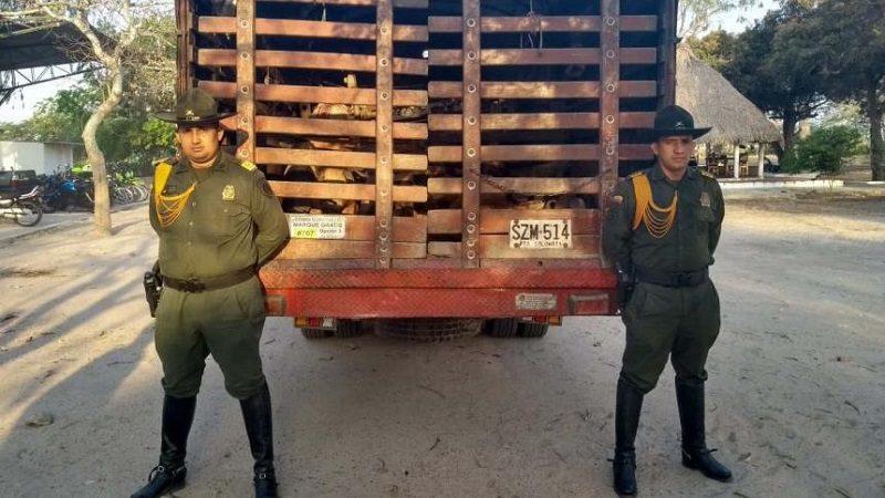 Incautan decenas de cerdos que iban a ser ingresados a Barranquilla de forma ilegal