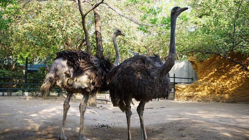 Nuevas avestruces llegan al Zoológico de Barranquilla