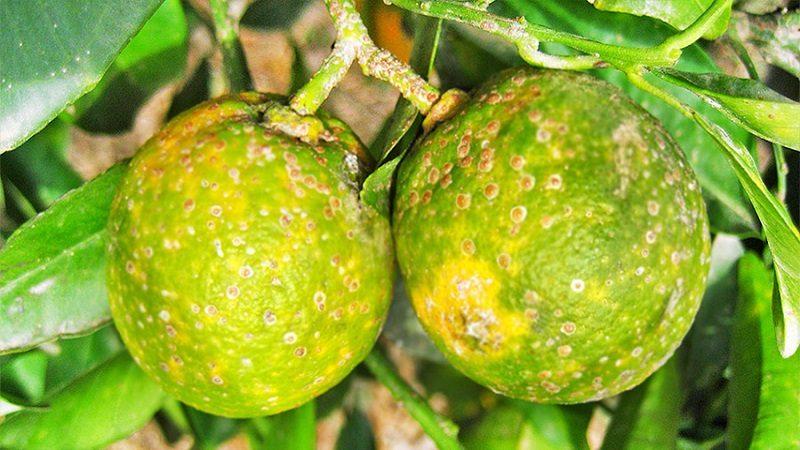 productores de limón en Atlántico, preocupados por enfermedad del 'dragón amarillo'
