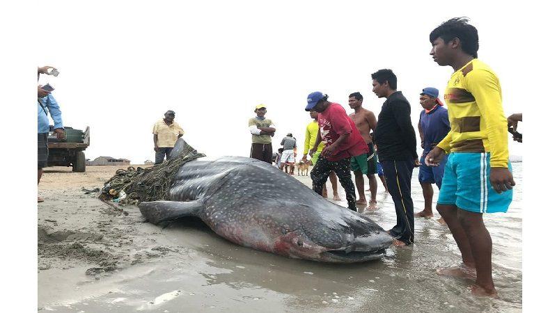 Polémica por pesca irregular de tiburón ballena en La Guajira