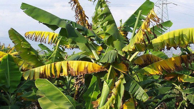 Plaga del 'Mal de Panamá' arrasa con cultivos de banano en La Guajira