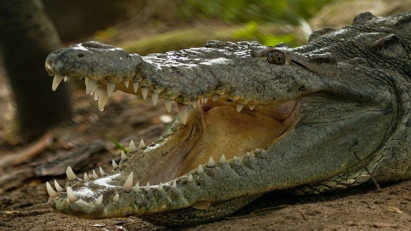 El caimán aguja, nuevo alcalde del Zoológico de Barranquilla