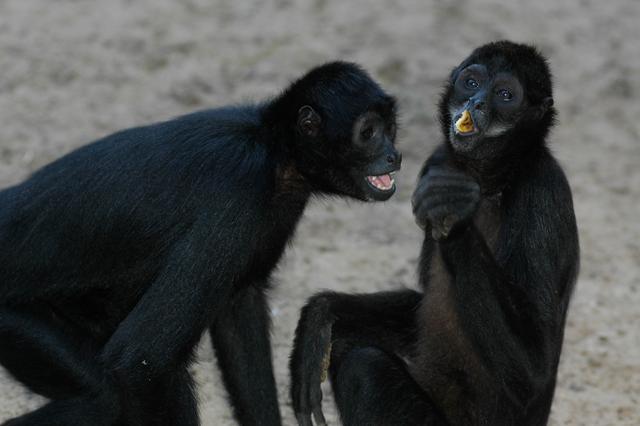 La imagen tiene un atributo ALT vacío; su nombre de archivo es Los-leones-y-marimondas-negras-del-Zoológico-tienen-nuevos-padrinos.jpg